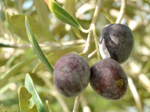organic-arbequina-extra-virgin-olive-oil.png